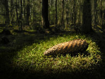 Forest Treasure. Cone lying on moss in forest. Symbol for treasure in nature royalty free stock photos