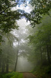 Forest tree alley engulfed in deep mist Stock Image