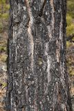 Forest tree, the BARK of the SIBERIAN pine, closeup royalty free stock photos