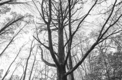 Forest Tree Branches subindo em preto e branco foto de stock royalty free