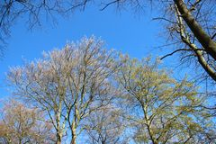 Forest Tree Budding Young Leaves in de Lente royalty-vrije stock afbeelding