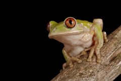 Forest Tree Frog Royalty Free Stock Image