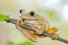 Forest Tree Frog (Leptopelis natalensis). Green forest tree frog sitting on a branch Stock Image