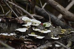 Forest Tree Fungi Growing on Fallen Trees. Clarksburg, Harrison county, West Virginia forest has many varieties of trees to explore and with many types of trees royalty free stock photography
