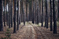 Pine forest, sunny summer day, tall pine trees, road in the woods,beautiful forest, a lot of trees, road between trees, pine, outd Royalty Free Stock Photos