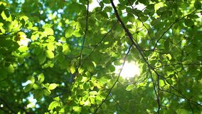 Forest tree and green leaves glowing in sunlight, vintage lens video.  stock footage