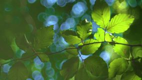 Forest tree and green leaves glowing in sunlight, vintage lens video.  stock video footage