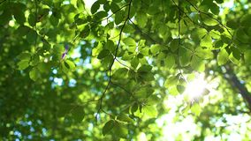 Forest tree and green leaves glowing in sunlight, vintage lens video stock footage