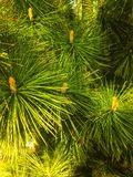 Green pine tree background. Forest tree green pine background texture Royalty Free Stock Photo