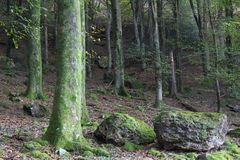 Beautiful forest on the mountains. Forest tree on the mountains ,tall and thin trees Stock Photography