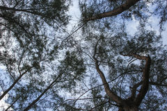 Free Forest Tree, Pine Under Sky, Image Low Key Tree. View Straight Up Through Tall Tree Stock Photography - 94972452