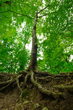 Forest Tree With Roots. Forest tree with visible roots spread in the foreground Royalty Free Stock Photo