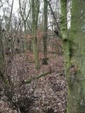 Forest of Trees;. Trees in a forest in Northamptonshire. Tree& x27;s are bare and leaves laying colourless on the floor stock image