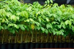 Forest Tree Seedlings Stockfoto
