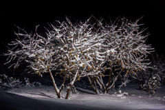 Forest tree in snow. Forest tree in the snow black background Royalty Free Stock Photo
