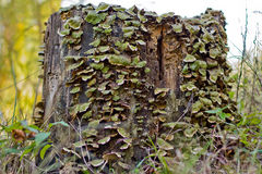 Forest Tree Stump in Decay Stock Image