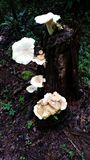 Forest tree stump with White Fungus growth. Tree stump in the forest covered with white fungus.  Green foliage behind Royalty Free Stock Photos