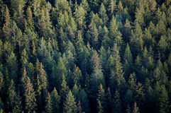 Forest tree tops. Tree tops of coniferous forest royalty free stock photography