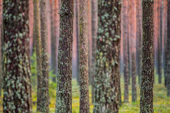 Forest tree trunks Stock Images