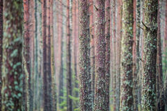 Forest tree trunks with moss royalty free stock photos