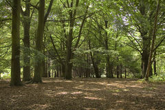 Forest trees. A dark wooded area royalty free stock photos