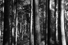 Forest Trees. Sinister looking forest - black and white Stock Photos