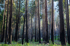 Forest Trees. Forest pine redwood trees with sunlight pouring through Royalty Free Stock Images