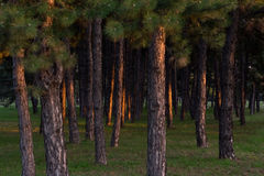 Forest trees Royalty Free Stock Photos