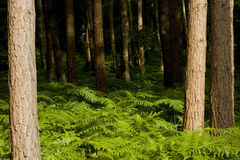 Forest trees. Trees in a forest with a carpet of bracken Royalty Free Stock Images