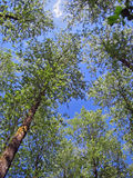 Forest trees. Looking up royalty free stock photo