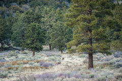 Forest trees allow wildlife to blend in unnoticed. Douglas Fir forest of trees conceals the camouflaged does Royalty Free Stock Photo