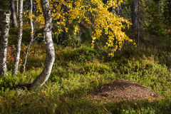 Forest trees and anthill hide in grass. Autumn forest trees and anthill hide in grass Stock Photos
