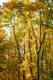 Forest trees in autumn background Stock Image
