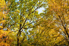 Forest trees in autumn background Royalty Free Stock Photos