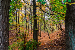 Forest with Trees in Autumn Royalty Free Stock Photo