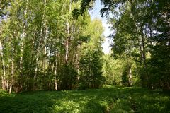 Forest trees and bushes put on a summer outfit, fresh green leaves rustling again on the branches. The ground under the trees is covered with grass stock photography