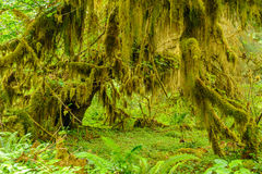 Forest of trees closeup covered with moss Stock Images