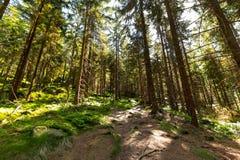 Forest Trees con luce solare al tramonto nel legno Immagine Stock