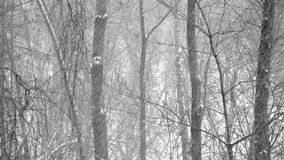 Forest trees covered with new falling snow. Heavy snowfall in the wood. Large flakes of snow falling on the background of trees stock footage