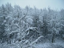 Trees covered with snow. Winter Forest. stock image