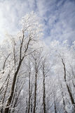Forest trees covered with snow on a blue sky background Royalty Free Stock Photo