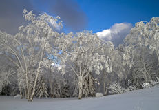 Forest trees covered in snow. 