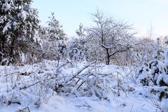 Forest with trees covered snow in winter Royalty Free Stock Photo
