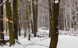 Forest trees covered with snow, winter scsnery. Royalty Free Stock Photos