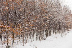 Forest trees covered with snow, winter scsnery. Stock Photography