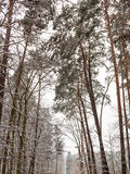 Forest trees covered with snow, winter scsnery. Royalty Free Stock Image