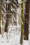 Forest trees covered with snow, winter scsnery. Royalty Free Stock Photography