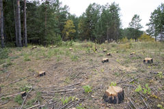 A forest with the trees cut down. Royalty Free Stock Image