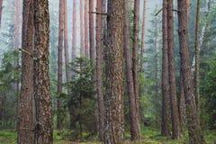 Forest Trees dans les troncs de forêt du sapin dans la forêt conifére de ressort Photographie stock