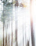 Forest Trees in Dense Fog With Sunlight Stock Photography